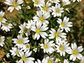 Caryophyllaceae - Cerastium utriense.-1.JPG