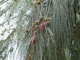 Casuarina equisetifolia 0004.jpg