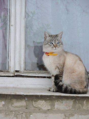 Cat at window in Nova Vodolaha (02.2019) 01.jpg