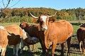 Cattle Hainbuch 2013.jpg