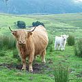 """Cattle along """"The Struggle"""" - panoramio (cropped).jpg"""