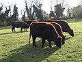 Cattle near Occombe - geograph.org.uk - 1588512.jpg