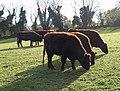 Cattle near Occombe - geograph.org.uk - 1588512.jpg