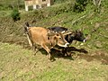 Cattle used for farming.jpg