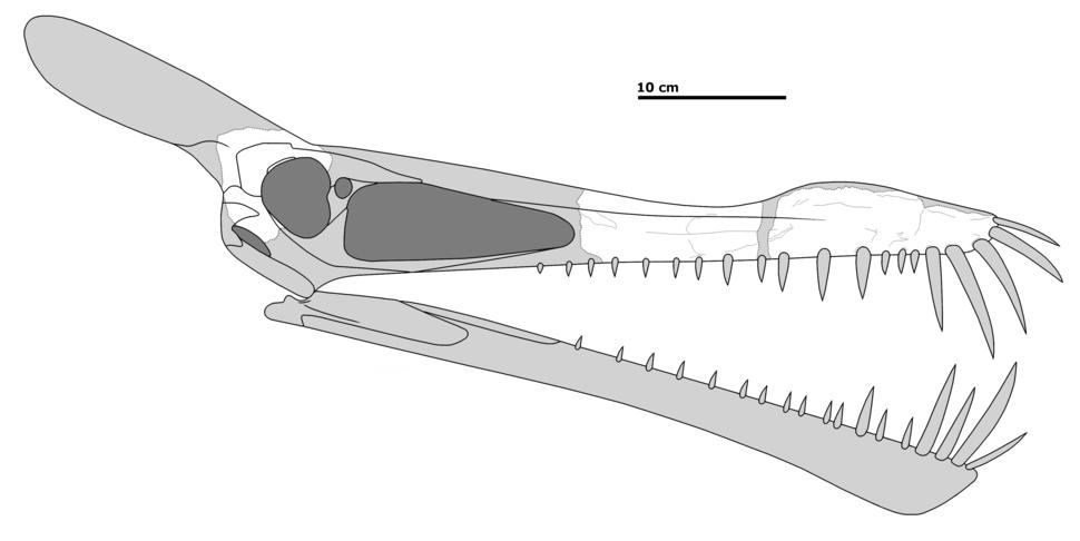 Caulkicepahlus skull recon