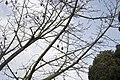 Ceiba speciosa-Kapokier-2.jpg