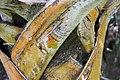 Ceiba speciosa 13zz.jpg