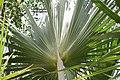 Ceiba speciosa 14zz.jpg