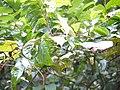 Cenparavalli (Malayalam- ചെന്പറവള്ളി) (15583790333).jpg