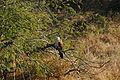 Centropus burchellii 5676.jpg
