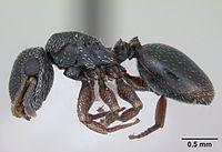 Cephalotes guayaki casent0173677 profile 1.jpg