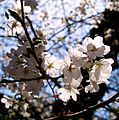 Cerasus x yedoensis - Flickr - odako1 (1).jpg