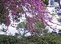Cercis Siliquastrum1.jpg
