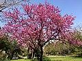 Cercis siliquastrum - Judas tree 03.jpg