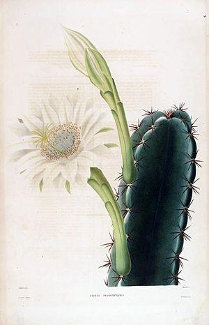 Cereus (plant) - Image: Cereus hexagonus 00