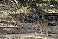 Ceylon spotted deer.jpg