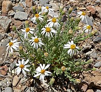 C. ericoides