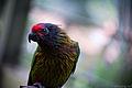 Chalcopsitta sintillata -Kuala Lumpur Bird Park-8a.jpg