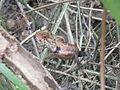 Chameleon - ഓന്ത് (5).JPG