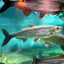 Chanodichthys erythropterus by OpenCage.jpg