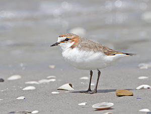 Red-capped plover - Female in breeding plumage