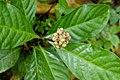 Chassalia curviflora 3913.jpg