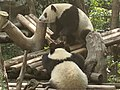 Chengdu Research Base of Giant Panda Breeding, 201907, 07.jpg