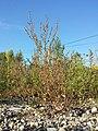 Chenopodium strictum sl1.jpg