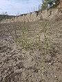 Chenopodium urbicum sl60.jpg