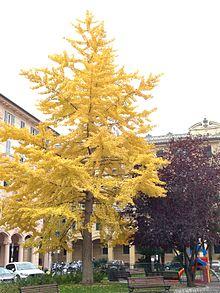 Chiavari - Piazza Roma lato Est. Ginkgo biloba in veste autunnale.