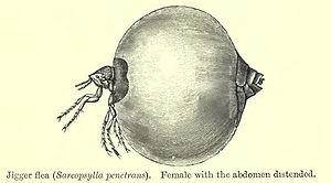 Tunga penetrans - Image: Chigger BMNH