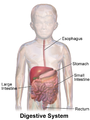 Child Digestive System.png