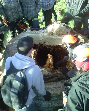 Bicton College - Arboriculture students gather around the stump of an Araucaria araucana felled on college grounds.