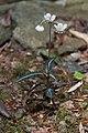 Chimaphila maculata1010.jpg