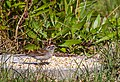 Chipping Sparrow (28886241307).jpg