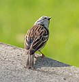 Chipping sparrow in GWC (42636).jpg