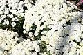 Chrysanthemum Linda 7zz.jpg