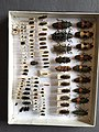 Chrysomelidae collection, Natural History Museum, London 173.jpg