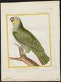 Chrysotis amazonica - 1700-1880 - Print - Iconographia Zoologica - Special Collections University of Amsterdam - UBA01 IZ18600099.tif