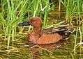 Cinnamon teal on Seedskadee National Wildlife Refuge (34799409260).jpg