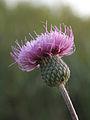 Cirsium pannonicum.jpg