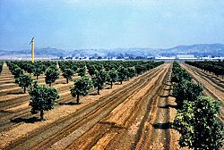 Citrus groves in Placentia, 1961