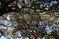 City of London Cemetery and Crematorium ~ cedar trees canopy.jpg