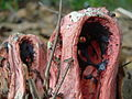 Clathrus columnatus two close.jpeg