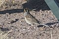 Clay-colored Sparrow Rusty's Rodeo NM 2017-10-05 09-07-10-2 (38657013752).jpg