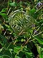 Clematis integrifolia 004.JPG