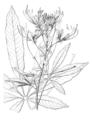 Cleome speciosa-Nova genera-V5-Tab 436-cropped.png
