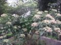 ClerodendronTrichotomum2.jpg