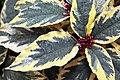 Clerodendrum Brandonii 1zz.jpg
