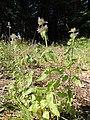 Clinopodium vulgare kz04.jpg